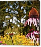 Echinacea With Bee Canvas Print