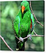 Eclectus Parrot-1 Canvas Print