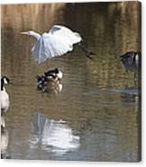 Egret And Geese At Gilbert  Riparian Preserve Canvas Print