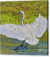 Egret Full Wing Span Canvas Print