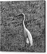 Egret In Black And White Canvas Print