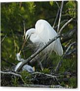 Louisiana Egret With Babies In Swamp Canvas Print