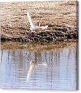 Egret Taking Off Canvas Print
