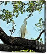 Egret Waiting For Mating  Canvas Print