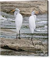 Egrets 4649 Canvas Print