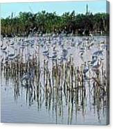 149838-egrets Feeding, Everglades Nat Park  Canvas Print