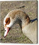 Egyptian Goose Profile Canvas Print