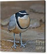 Egyptian Plover Canvas Print