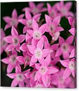 Egyptian Star Flowers Or Penta Canvas Print