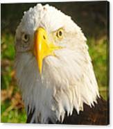Bald Eagle Head Shot Two Canvas Print