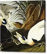 Eider Ducks Canvas Print