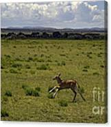 Eland Calf   #7195 Canvas Print