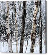 Elders In A High Country Grove Canvas Print