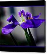 Elegant Iris With Black Border Canvas Print