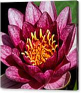 Elegant Lotus Water Lily Canvas Print