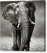 Elephant Approach From The Front Canvas Print