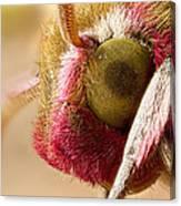 Elephant Hawk Moth Extreme Macro Canvas Print