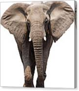 Elephant Isolated Canvas Print