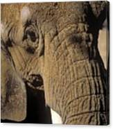 Elephant Portraint Canvas Print