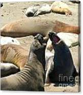 Elephant Seal Birthing Grounds Two Elephant Seal Bulls Fighting Canvas Print