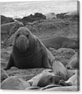Elephant Seal Bull Canvas Print