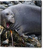 Elephant Seal Of Ano Nuevo State Reserve Canvas Print