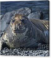 Elephant Seal Pup... Canvas Print