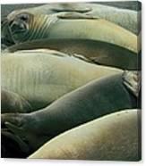 Elephant Seal Pups Canvas Print