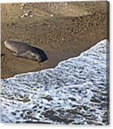 Elephant Seal Sunning On Beach Canvas Print