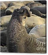Elephant Seals Canvas Print