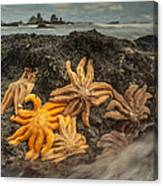 Eleven-armed Sea Stars At Low Tide Canvas Print