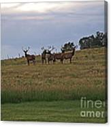 Elk 2 Canvas Print