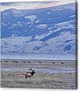 Elk At Dusk Canvas Print