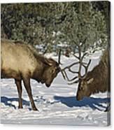 Elk  Bulls Fighting In Yellowstone Canvas Print