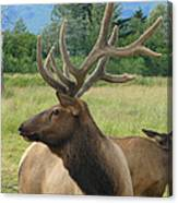 Elk Couple Canvas Print