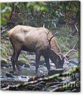 Elk Drinking Water From A Stream Canvas Print