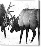 Elk Fighting Black And White Canvas Print