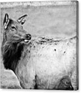 Elk IIi Canvas Print