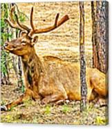 Elk In Kiabab National Forest Arizona Canvas Print