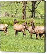 Elk In The Meadow Canvas Print