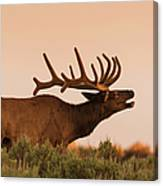 Elk In Velvet On Hill In Yellowstone Canvas Print