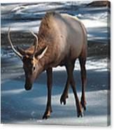 Elk On Ice Canvas Print
