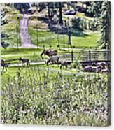 Elk On The Greens Canvas Print