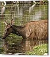 Elk Pictures 36 Canvas Print