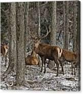 Elk Pictures 45 Canvas Print