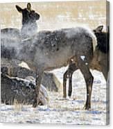 Elk Shaking Off Snow   #0530 Canvas Print