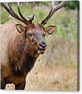 Elk Staring Canvas Print