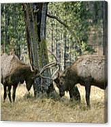 Elks Sparring Yellowstone Np Wyoming Canvas Print
