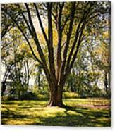 Elm In The Sunshine Canvas Print
