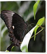 Emerald Peacock Swallowtail Butterfly #6 Canvas Print